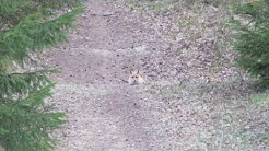 Red fox alarm bark / Ketun huuto