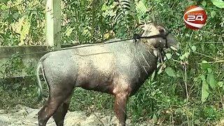 বিরল প্রজাতির নীল গাই নিয়ে টানাটানি