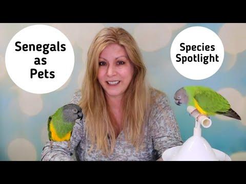 Senegal Parrots As Pets   Living With A Senegal Parrot   Species Spotlight