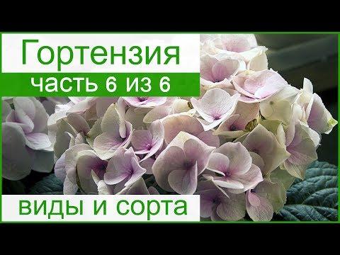 💐 Виды и сорта гортензии садовой