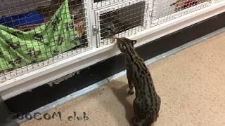 Азиатские леопардовые котики. Как поживают.