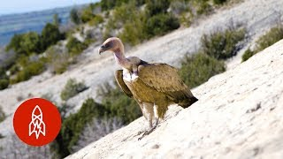 The Vultureman of Spain
