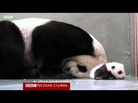 Панда встречает детеныша после разлуки.