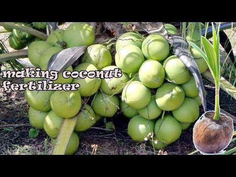 How To make  Fertilizer for Short Coconut Tree Very Easy - Agriculture Technology