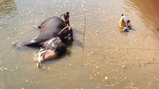 Dance Of The bigest elephant in the world (sri lankan tuskers)