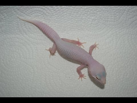 Leopard Gecko Unboxing - White Knight Project
