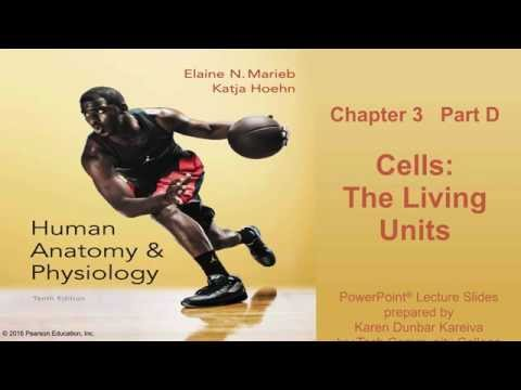 Anatomy Physiology Chapter 3 Part D Lecture