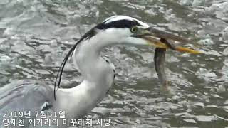양재천 왜가리 미꾸라지 사냥양재천 왜가리 2019년7월…