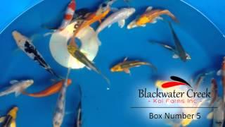 Blackwater Creek Koi Farms - ViYoutube com