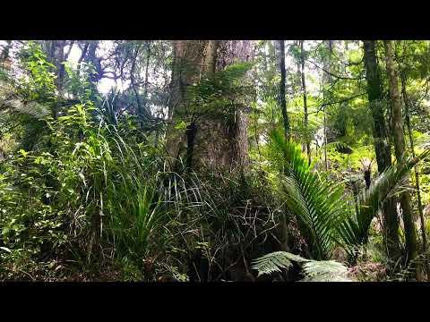 Puketi Forest, Kauri Tree Walk, New Zealand