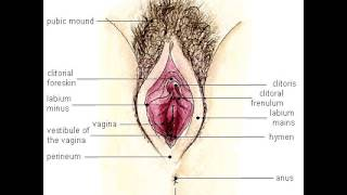 Human 3D, Размнож,03 Женские половые органы