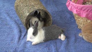 KRÓLIKI – Mowa ciała królika (cz. IV)