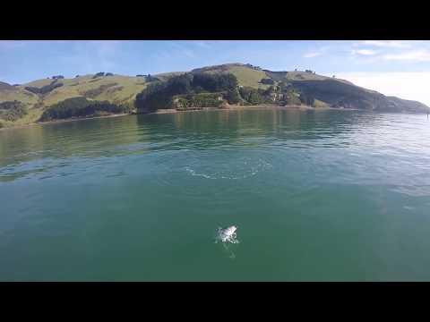 KAHAWAI BOIL UPS// Otago Harbour