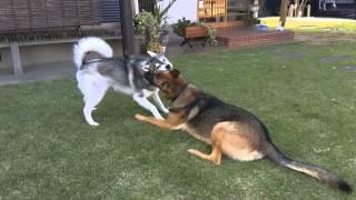 うちの犬ハスキーのRAUL1歳と兄の犬シェパードのINDY1歳とても仲良...