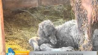 Верблюды нижегородского зоопарка впервые стали родителями самца