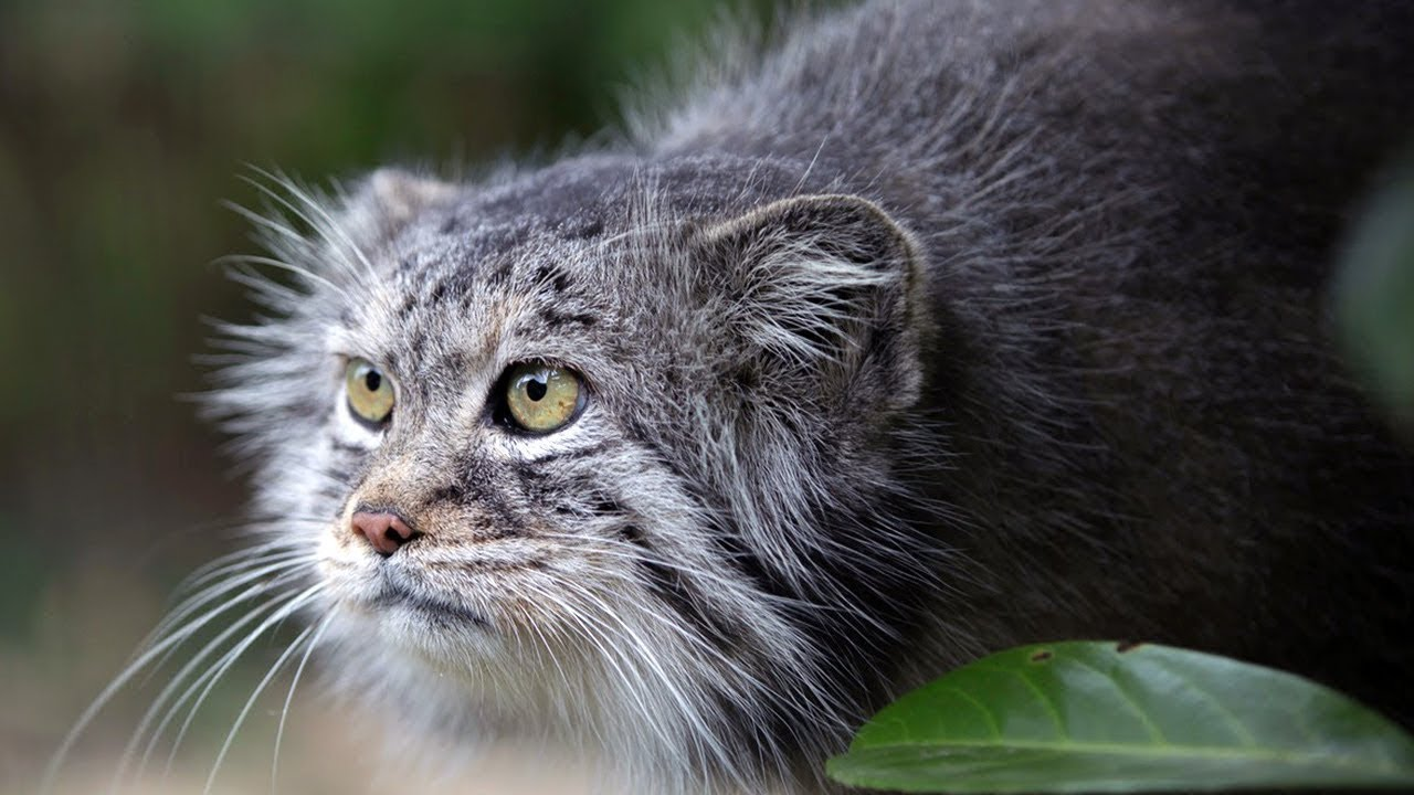 Download Manul - the Angriest cat in the world. Interesting facts about Manuls.