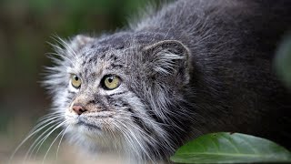 Manul - the Angriest cat in the world. Interesting facts about Manuls.