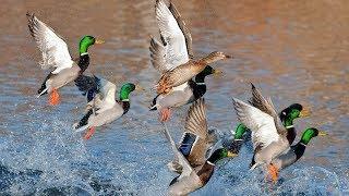 Охота на утку в ноябре в Сибири