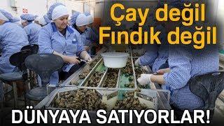 Zonguldak'tan Avrupa'ya Yılda Bin 200 Ton Salyangoz İhraç Ediyorlar