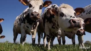 Vaches laitières Prim-Hostein Normande Montbéliarde Brune des Alpes