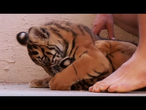 Living With Tiger