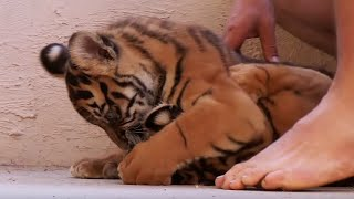 Living With Tiger Cubs - Tigers About The House - BBC