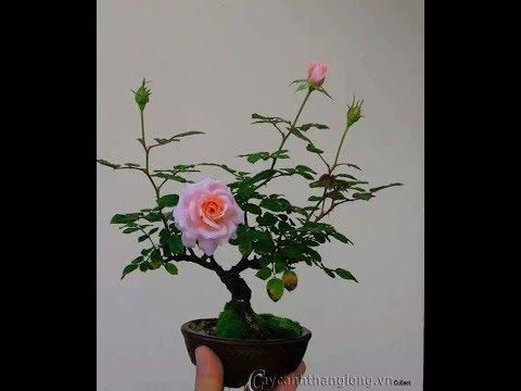 Kỹ Thuật Chăm Cay Hoa Hồng Bonsai đẹp
