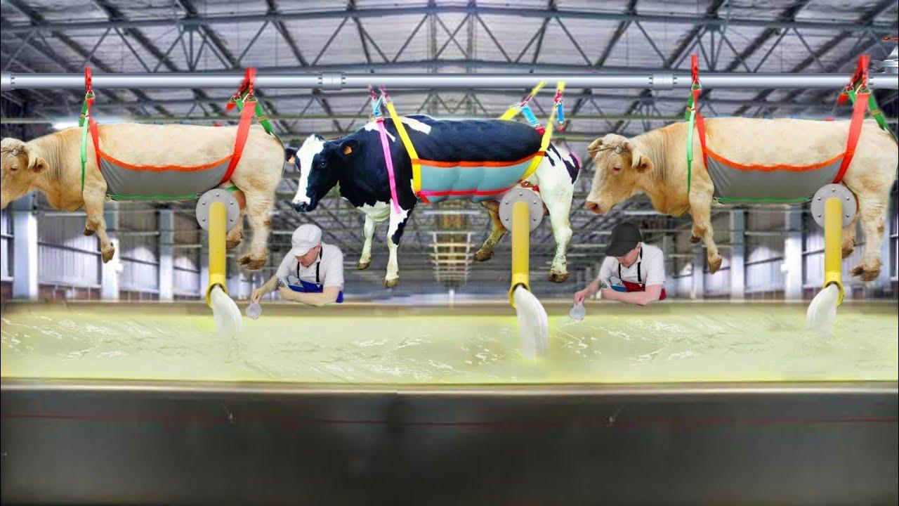 गाँय का दूध निकालने का ये तरीका  आपने आज तक नही देखा होगा   Modern Cow Farming Technology