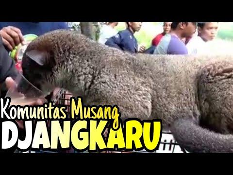 "Komunitas Musang Jakarta Timur ""JANGKARU"" // East Jakarta Weasel Community"