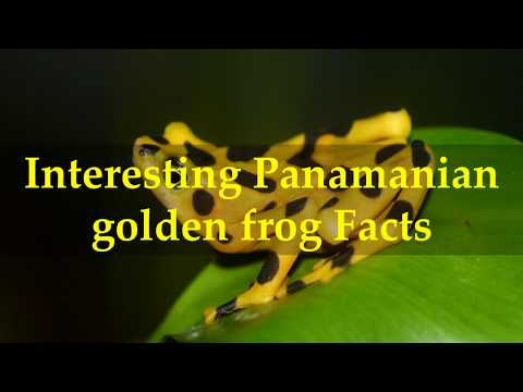 Interesting Panamanian golden frog Facts