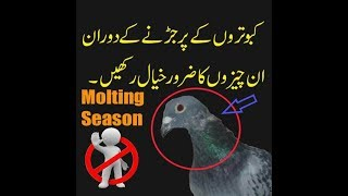 perfect diet for pigeon during molting season|| pigeon food|| how to cure pigeon in moulting season