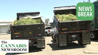 $1.2 Billion Worth Of Cannabis Seized In L.A. County's Largest Illicit MJ Bust