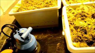 Day 1 bloom of the royal cheese.wmv