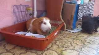 Смотреть до конца! Мои морские свинки Рики и Феликс.(, 2015-05-23T09:54:43.000Z)