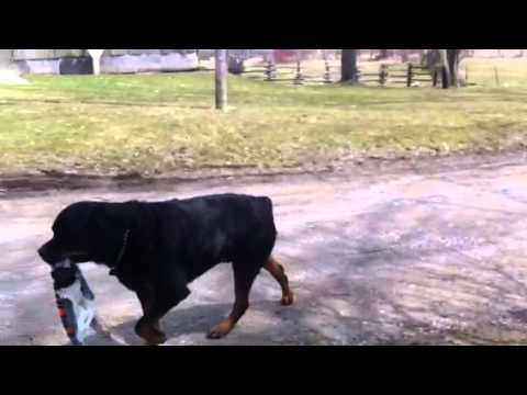 Rottweiler And Boston Terrier In Epic Tug Of War YouTube - Terrier and rottweiler