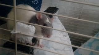 Крысиный Тыг дык. Декоративная крыса.  Крыса. Смешное видео. Забавные животные. Милота. МиМиМи