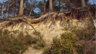 Old Pine trees with bare roots - Furutré -  Gamlar Furur með berar rætur - Skógartré