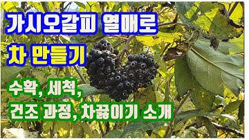 """가시오갈피 열매로 차만드는 방법 - 열매를 수확, 세척, 건조해 오갈피열매차를 만들기까지 과정.(How to make """"Kashiogalpi Fruit Tea"""".)"""