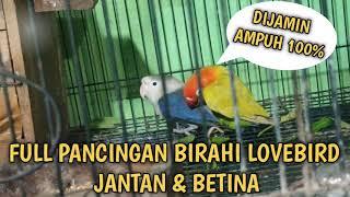 Download lagu PANCINGAN LOVEBIRD KAWIN BIRAHI JANTAN & BETINA FULL 100%