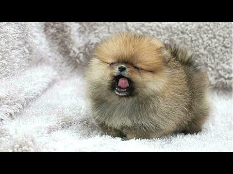 PUPPIES BARKING - Cute Puppy Barking Videos Compilation || DOGS BARKING VIDEOS