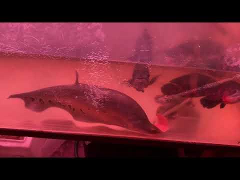 MASSIVE FISH! Fish Store Tour At Fish Warehouse #fishstoretour #aquariumfish