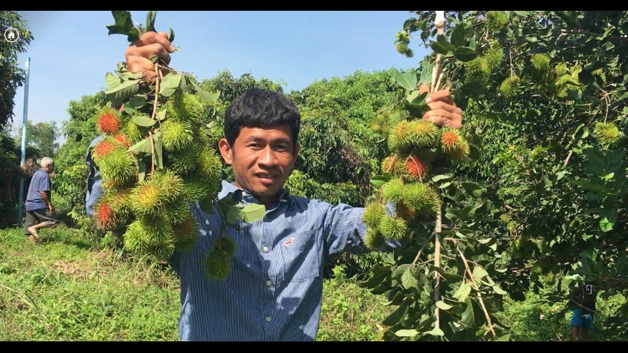 Rambutan Tree And Fruits=Growing Rambutan Tree In Cambodia