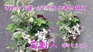ヒサカキ・フッキソウ・ヘデラ・ヒューケラ・アジュガ【葉っぱの色が美しい寄せ植えの作り方】作った時から美しい寄せ植え8分57秒/花創人はなそうにん岐阜愛知寄せ植えハンギングバスケット教室