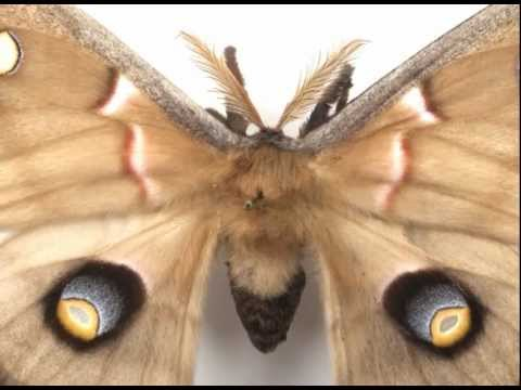 Cecropia Moth - Beauty and the Bug, Illumination Magazine