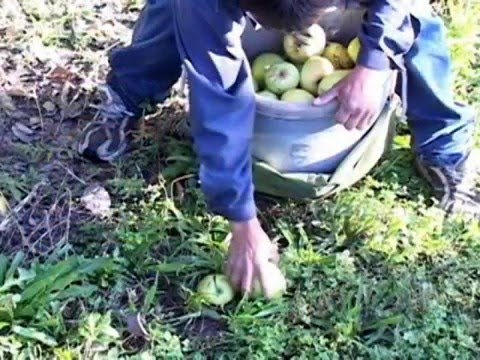 Guide to Better Apple Picking