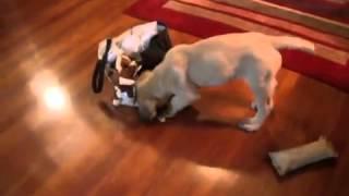 Adorable clumsy 10 week old mastiff puppy