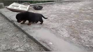Rottweiler Puppies For Sale 9350926445