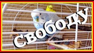 Выпускаю попугая из клетки полетать. Первое видео на Vолнистик-TV.