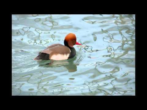 Photos de canards à Genève