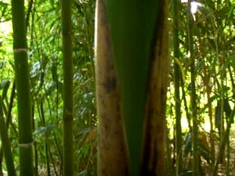 Bambus Phyllostachys Vivax In Nord West Germany Bambou Youtube